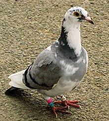 Photo d'un pigeon voyageur