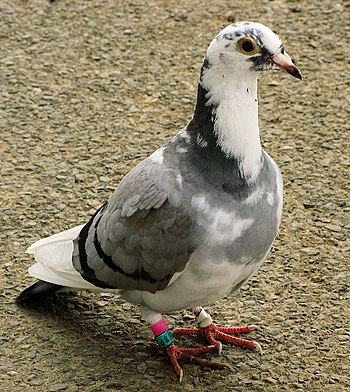 English: Racing pigeon photographed near Barkb...