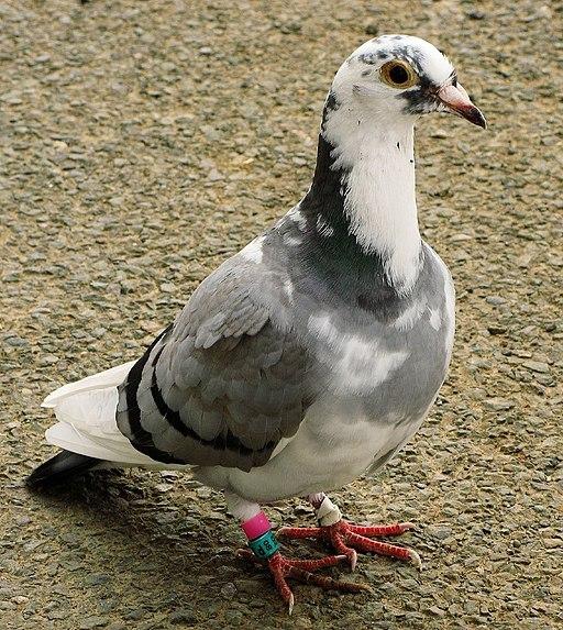 Racing pigeon rataedl