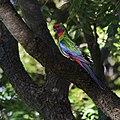 Rainbow Parakeet Or Rosella.jpg