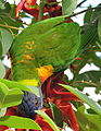 Rainbow lorikeet, Trichoglossus haematodus, feeding on flowers of Erythrina x fulgens horticultural hybrid at the Royal Botanical Garden, Sydney, Australia (16864108167).jpg