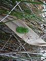 Rainette méridionale (Hyla meridionalis) 01.jpg