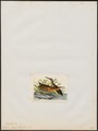 Rallus elegans - 1820-1863 - Print - Iconographia Zoologica - Special Collections University of Amsterdam - UBA01 IZ17500023.tif