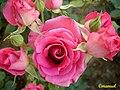 Ramo de Rosas (362065235).jpg