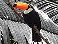 Ramphastos toco Matsue Vogel Park.jpg