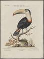 Ramphastos tucanus - 1700-1880 - Print - Iconographia Zoologica - Special Collections University of Amsterdam - UBA01 IZ19300236.tif