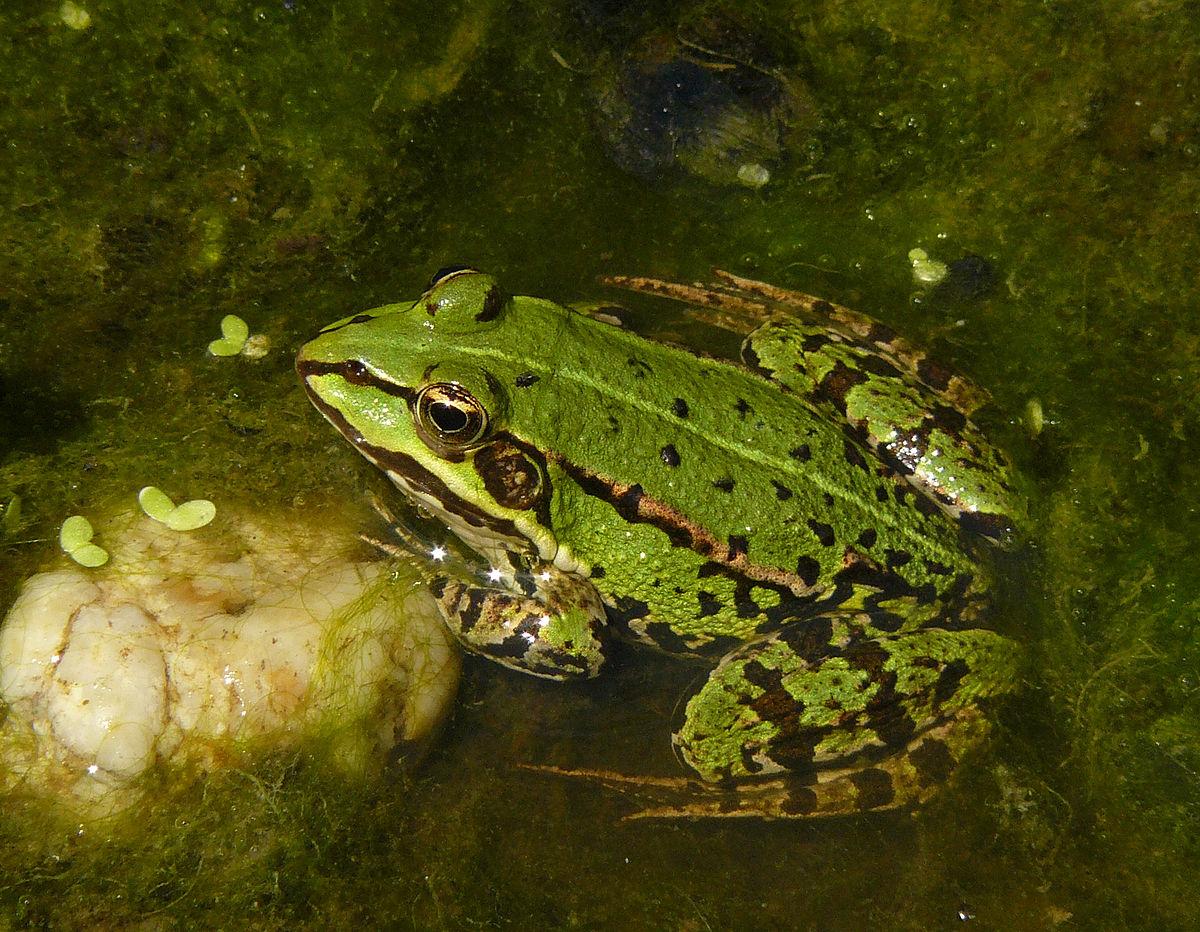 Wasserfrösche – Wikipedia