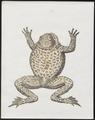 Rana maculosa - 1700-1880 - Print - Iconographia Zoologica - Special Collections University of Amsterdam - UBA01 IZ11500163.tif