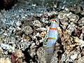 Randall's shrimpgoby (Amblyeleotris randalli) (31613613004).jpg