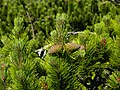Raxalpe - junge Zapfen der Latschenkiefer - Pinus mugo.jpg