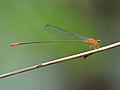 Red-breasted Longtail 1208.jpg