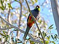 Red-capped Parrot, Blackadder Wetland 1a.jpg