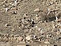 Red-crested Pochard (Netta rufina), Tufted Duck (Aythya fuligula), Common Pochard (Aythya ferina) & Gadwall (Anas strepera) (32319236795).jpg