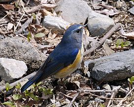 Red-flanked Bluetail male Osaka - Lip Kee 3.jpg
