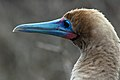 Red-footed booby (4228301975).jpg