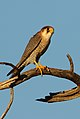 Red-necked falcon, Falco chicquera, at Kgalagadi Transfrontier Park, Northern Cape, South Africa. (34384230271) (cropped).jpg