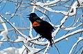 Red-wing Blackbird (agelaius phoenicus) (112777009).jpg
