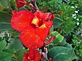 Red Canna Lily (2).jpg