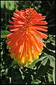 Red Hot Poker Flower-1 (28363412731).jpg