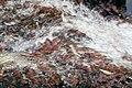 Red Rush (1447234049).jpg
