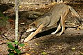 Red Wolf (3673014475).jpg