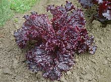 Red leaf lettuce J1.JPG