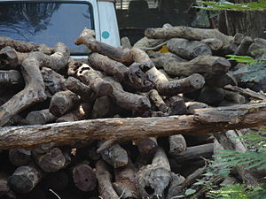 Pterocarpus santalinus - Seized Red sandalwood logs at Forest office, Tirupati