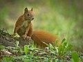 Red squirrel (50400557841).jpg
