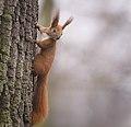 Red squirrel (explored) - Flickr - hedera.baltica (4).jpg