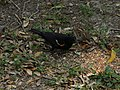 Red winged blackbird with sparrow.jpg