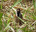 Reed Bunting. Emberiza schoeniclus (45617520404).jpg
