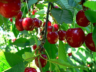 Limburg (Belgium) - Cherries, an important product of Limburgian fruit growing business.