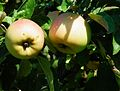 Reifende Äpfel.JPG