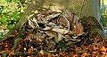 Reuzenzwam (Meripilus giganteus). Locatie, Hortus (Haren, Groningen) 02.JPG