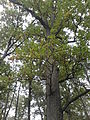 Rezerwat przyrody Dęby w Meszczach 11.21 02.jpg