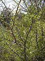 Rhamnus lycioides 2601.JPG