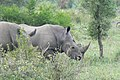 Rhinos (393127691).jpg