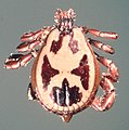 Rhipicephalus-pulchellus-male.jpg