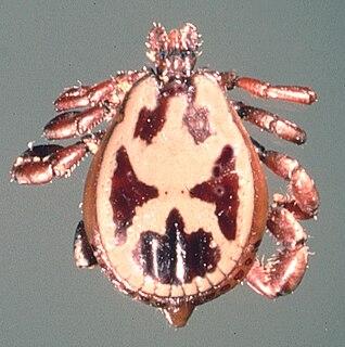 <i>Rhipicephalus pulchellus</i>