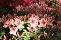 Rhododendron Ben Morrison 1zz.jpg