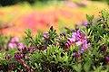 Rhododendron at Shimizu Park, Chiba; 2010.jpg