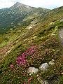 Rhododendron myrtifolium Chornohora Pozhyzhevska.JPG