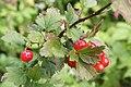 Ribes petraeum - img 22954.jpg