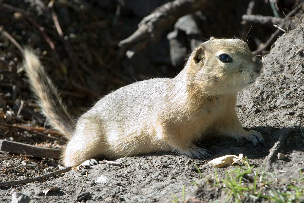 richardson u0027s ground squirrel wikipedia