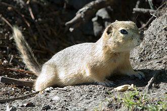 Richardson's ground squirrel - Image: Richardson's Szmurlo