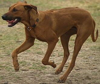 Rhodesian Ridgeback - Rhodesian Ridgeback running