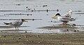 River Tern (Sterna aurantia)- Adult & Immature W IMG 9719.jpg
