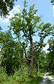 Rožmberk, památné stromořadí okolo hráze.JPG