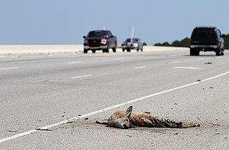 Roadkill - The battered remains of a roadkilled deer in South Carolina, US