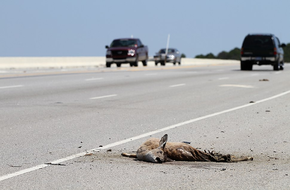 Roadkill on Route 170 Okatie Hwy by the Chechessee River, SC, USA, jjron 09.04.2012